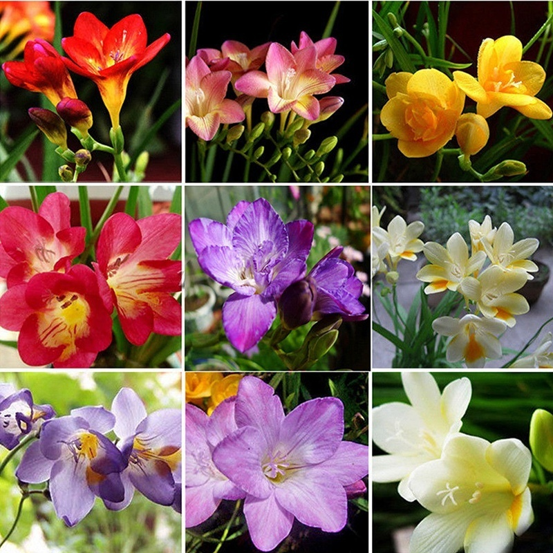 100pcs Freesia Bulbs Perfume Flower Seeds Home Garden Plant Perennial Decor