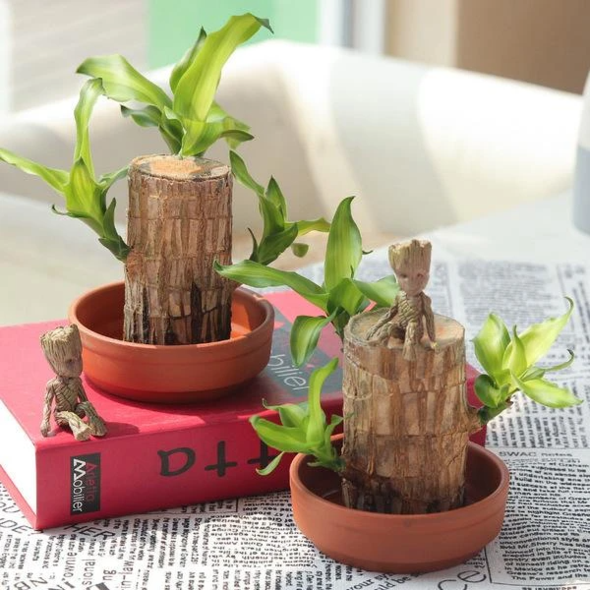 Brazilwood Hydroponic Plants Groot Lucky Wood Potted
