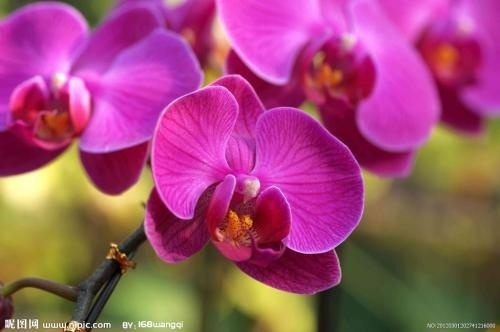 100pcs/ bag Orchid Seeds Phalaenopsis Seeds villa courtyard Park home horticultural plant seeds beautify the environment easy to live four seasons can be sown