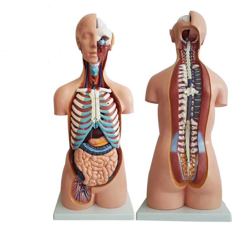 4D Anatomical Assembly Model of Human Organs(FREE SHIPPING )