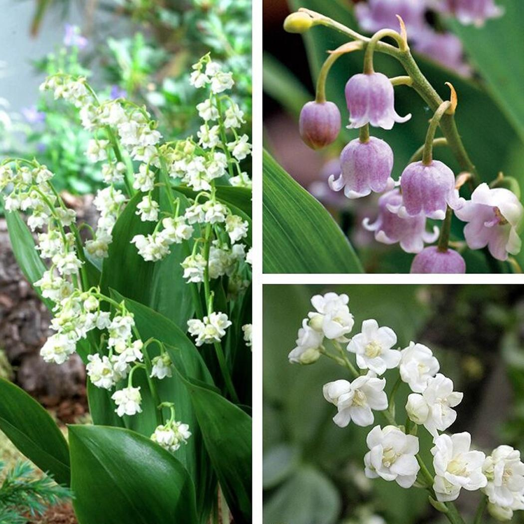 40PCS Lily of the Valley Seeds Convallaria majalis Seeds Home Garden Bonsai