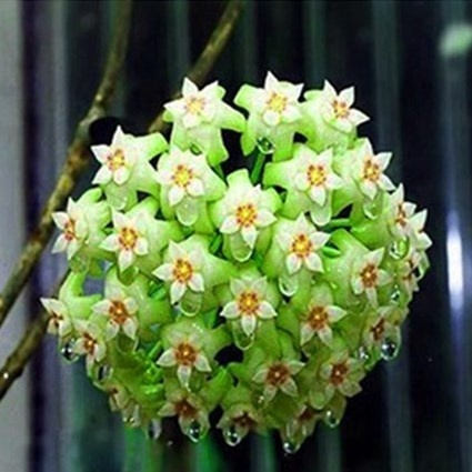 100pcsNEW 300Pcs Mixed Color new Hoya seeds orchid seeds Home Garden Plant Seed Garden Decor